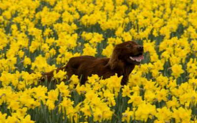Daffodils, Pollen And Heartworms?