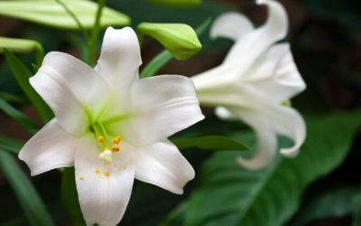 Lilies, Xylitol and Chocolate: Common Toxins Seen in the Emergency Room
