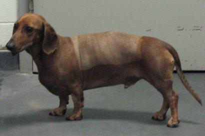 Post-op dachshund