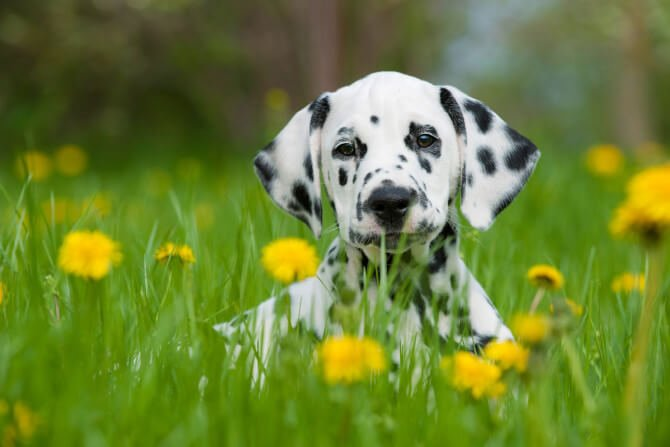 BAER Test: A Method Of Measuring Hearing Loss in Dogs